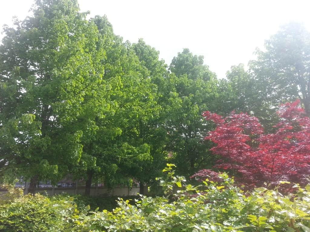 anlægsgartner-beskæring-af-træer-haveservice-træbeskæring-topkapper-anlægsgartner-Svaevende-haek-Kirstine-Seligmanns-Skole-Boernehave-Worsaaesgade-Vejle-sommer-2015-20150527_110534