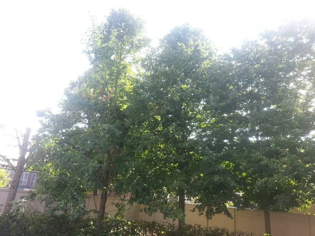 anlægsgartner-beskæring-af-træer-haveservice-træbeskæring-topkapper-anlægsgartner-Svaevende-haek-Kirstine-Seligmanns-Skole-Boernehave-Worsaaesgade-Vejle-sommer-2015-20150714_101445