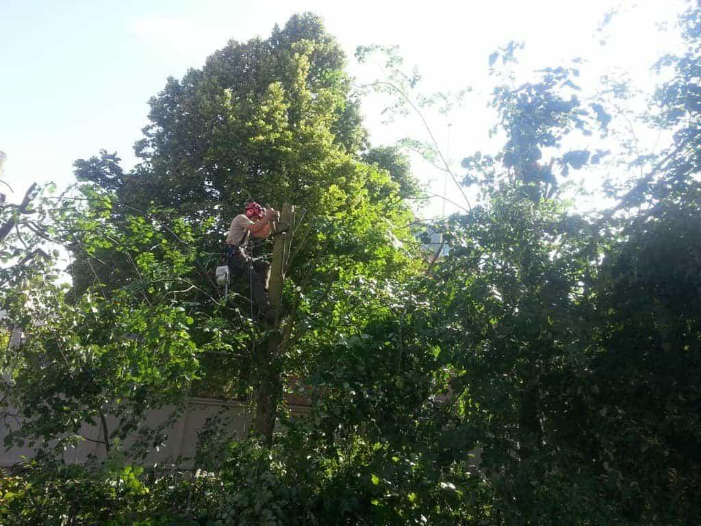 anlægsgartner-beskæring-af-træer-haveservice-træbeskæring-topkapper-anlægsgartner-Grøn Havedesign Skabelse af svævende hæk i Kirstine Seligmanns Skole og Børnehave på Worsaaesgade i Vejle