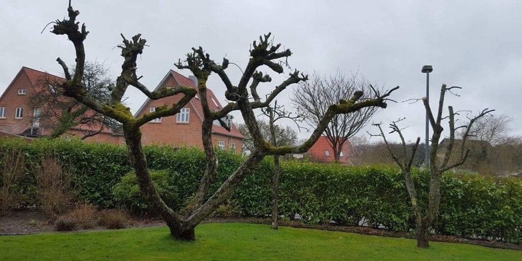 Beskæring af æbletræer i Vejle
