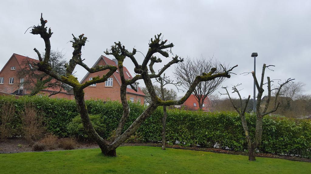 Beskæring af æbletræer Højmarken i Mølholm i Vejle