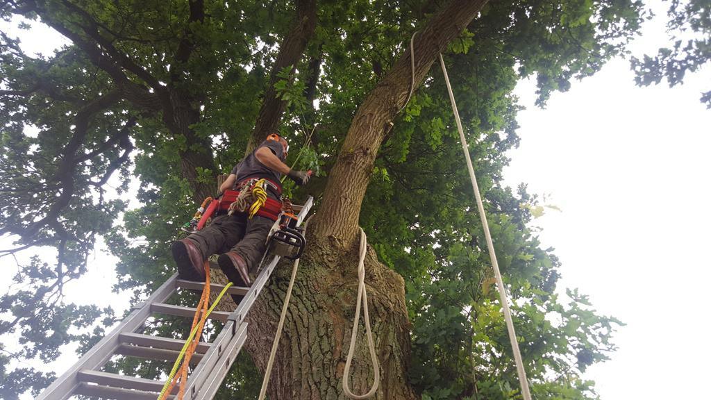 Beskæring af egetræ og træfældning på Stampesvej og Brummersvej i Mølholm i Vejle