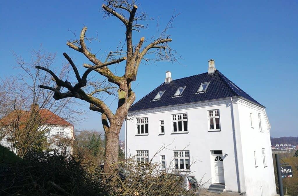 Hård beskæring af det smukke og berømte æbletræ på Platzvej i Vejle