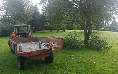 Beskæring af æbletræer i Egtved