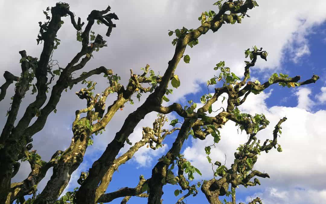 Beskæring af troldhassel – muligvis danmarks største – se billederne
