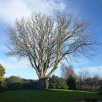 Det er et prægtigt kastanje træ der nu skal fældes