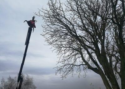 Kranen er på vej op i kronen på det prægtige kastanjetræ.