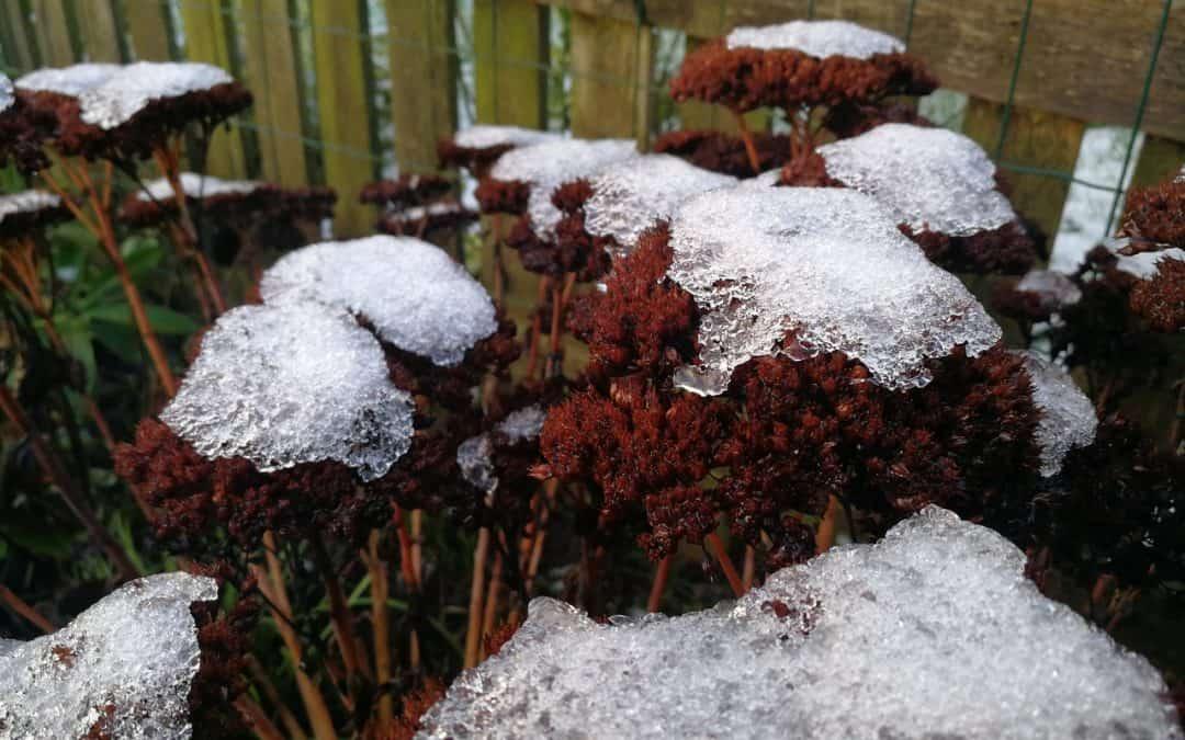 Den vinterhvide staudehave – Vinterhaven du altid glædes over