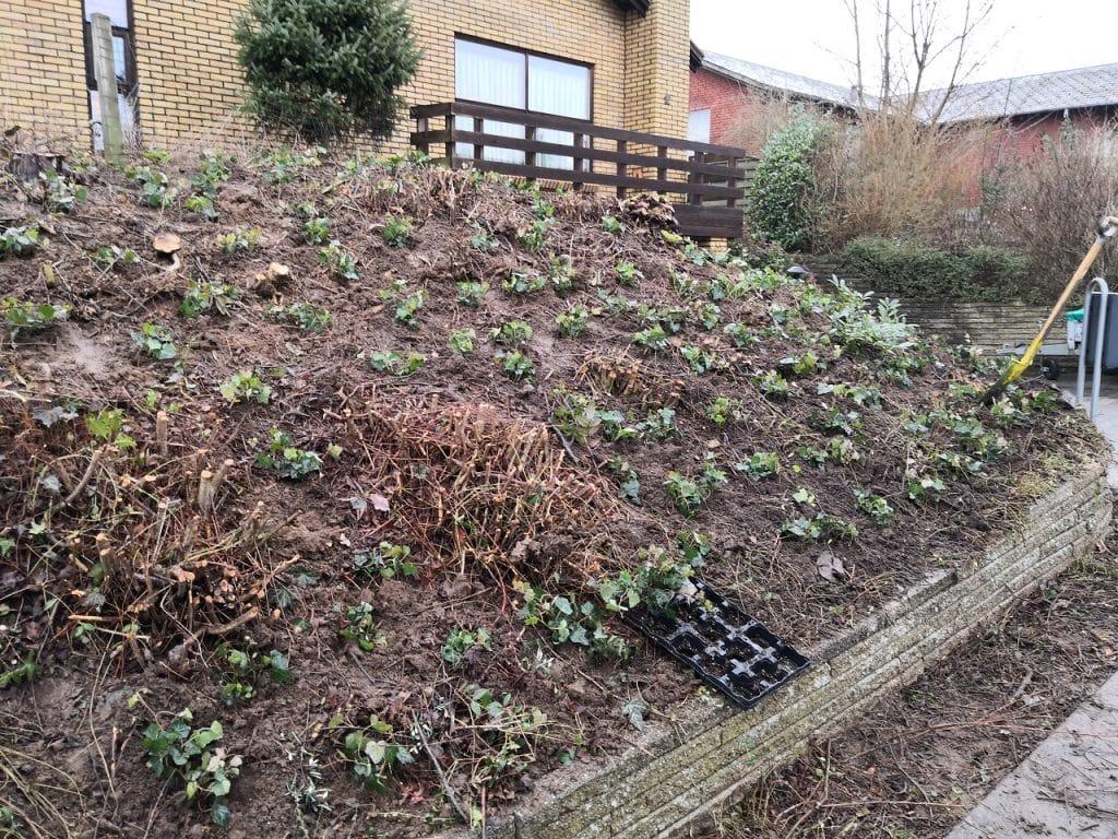 anlaegsgartner-haveservice-plantning-efeu-bunddaekke-skraaning-pensionisthave-vejle-