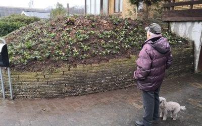 Plantning af efeu bunddække på skråning i pensionisthave i Vejle