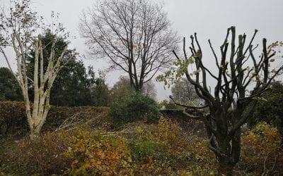 Beskæring af træer i Vejen – Kroneløft af Rød-Eg, Topkapning af Lærk, Kronereducerende beskæring af bøgetræ