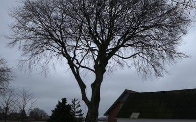 Træfældning med kran af mægtigt og gammelt bøgetræ i Jerlev mellem Vejle og Egtved