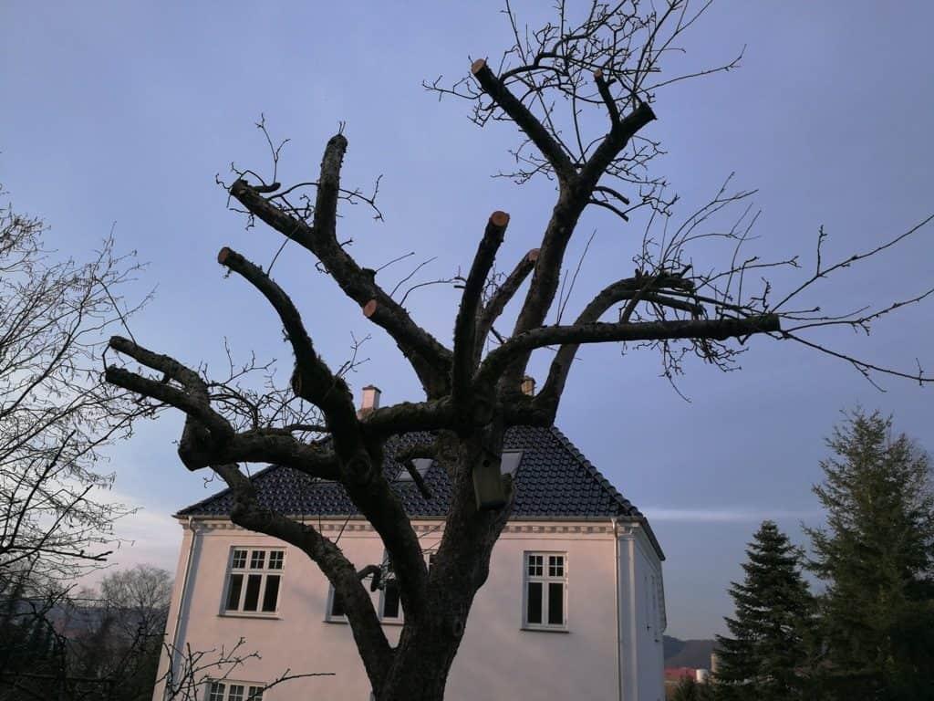 beskæring-haveservice-Hård beskæring af det smukke og berømte æbletræ på Platzvej i Vejle